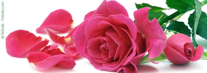 rosen rosa var heilpraktiker portal. Black Bedroom Furniture Sets. Home Design Ideas