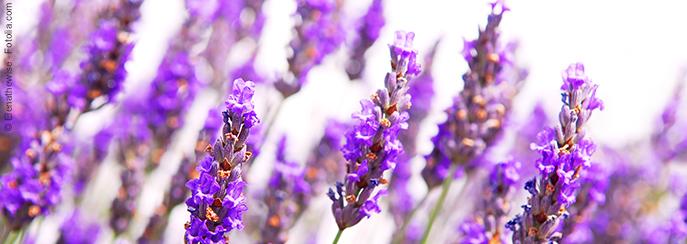 Lavendel Heilpflanze