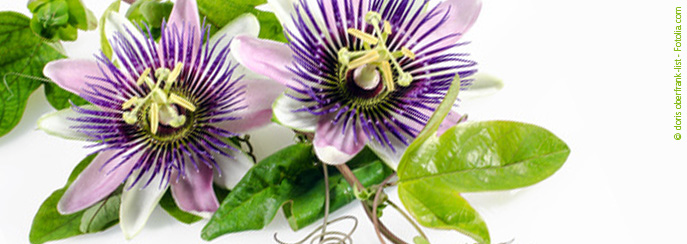 passiflora incarnata heilpraktiker portal. Black Bedroom Furniture Sets. Home Design Ideas